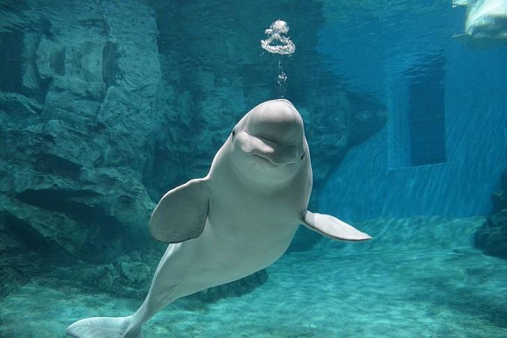 名古屋水族館白イルカベルーガ