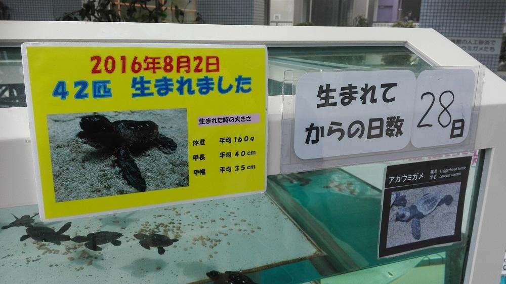 ウミガメ赤ちゃん名古屋水族館