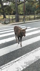 鹿横断歩道渡る